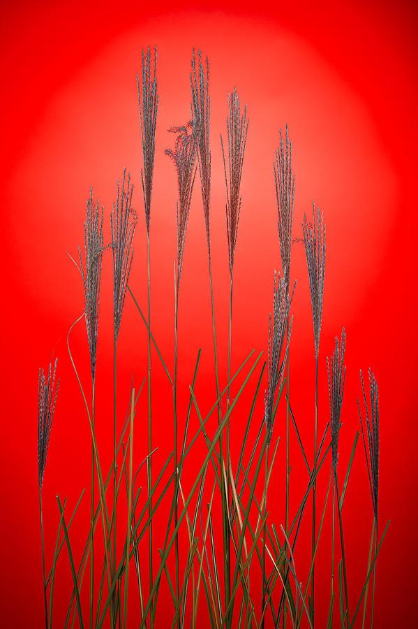 Grass Photograph - Fountain Grass In Red by Steve Gadomski