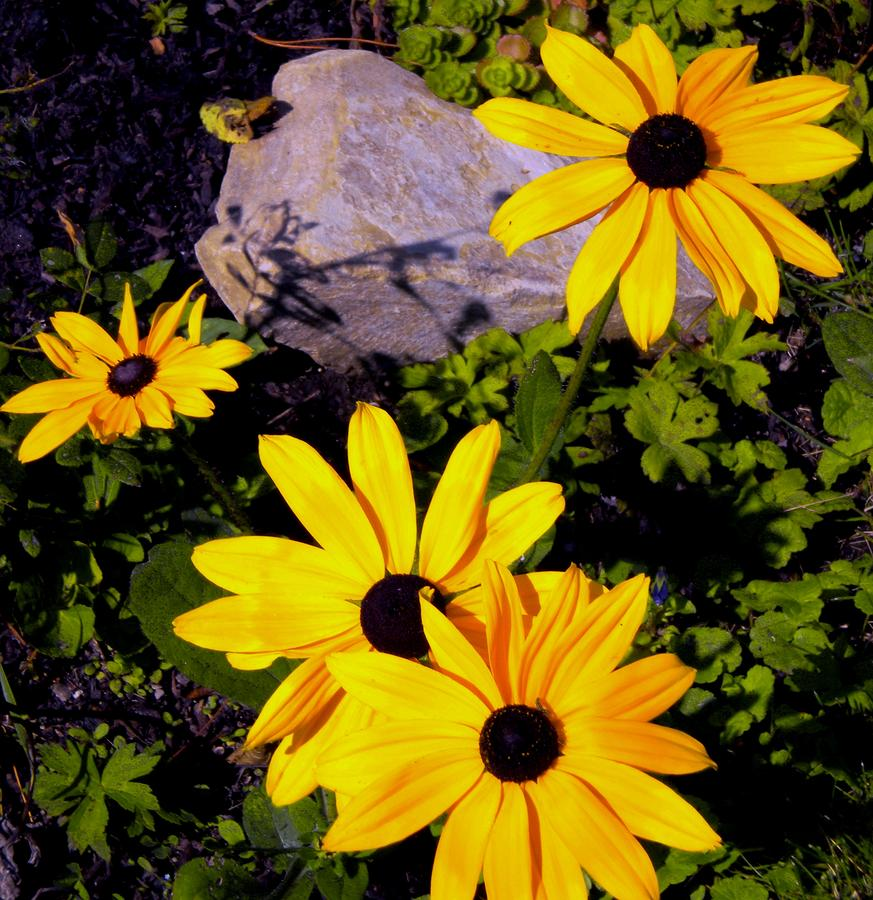 Black Eyed Susan Photograph - Four Black Eyes by Renate Nadi Wesley
