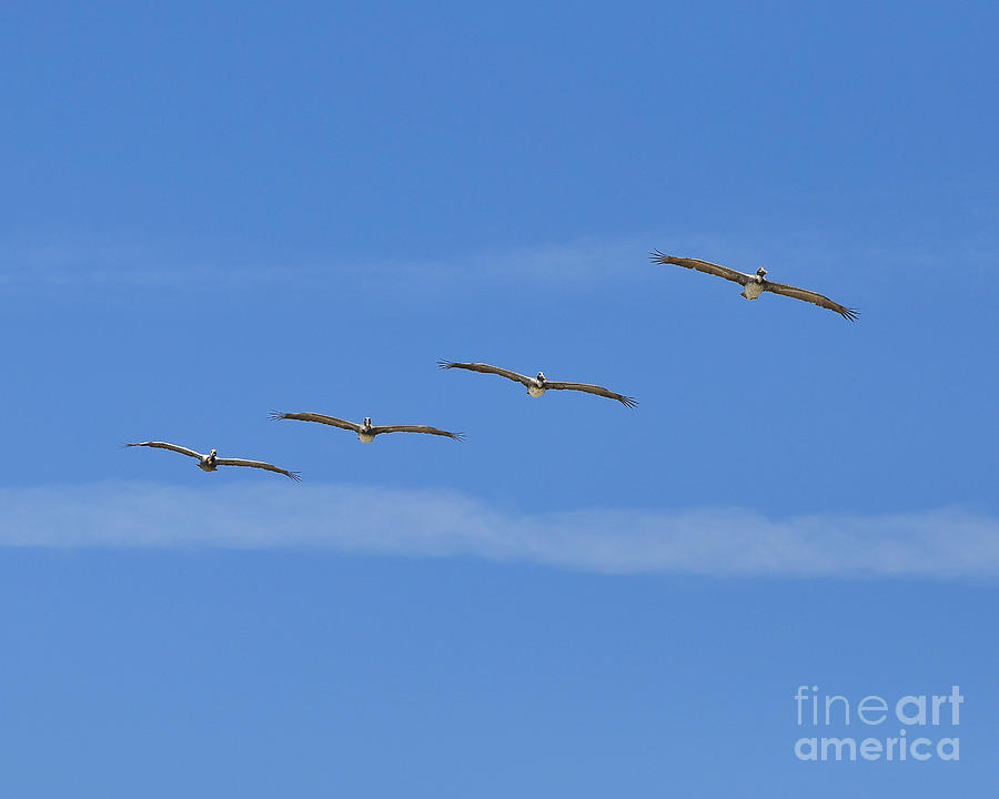 Pelican Photograph - Four Flyers by Al Powell Photography USA