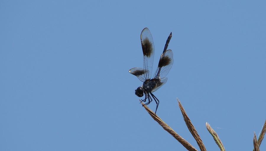 Dragonflies Photograph - Four Spotted Pennant by Bruce W Krucke