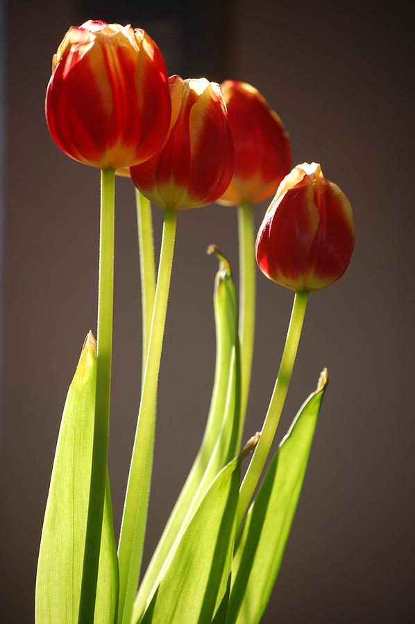 Pure Photograph - Four Tulips by Dickon Thompson