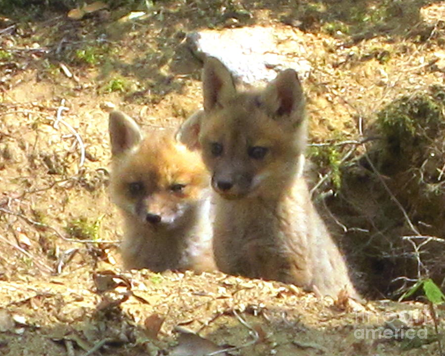 Fox Photograph - Fox Den Dawn by Chuck Berk