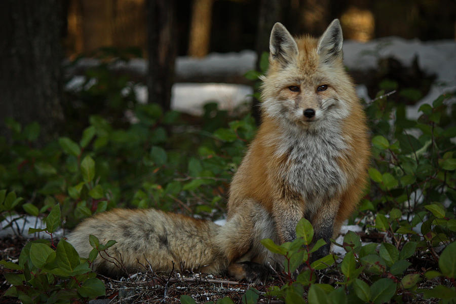 Fox Photograph - Fox In The Forest by Warren Marshall