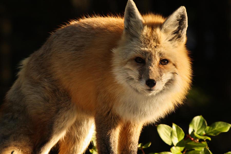 Fox Photograph - Fox In The Light by Warren Marshall