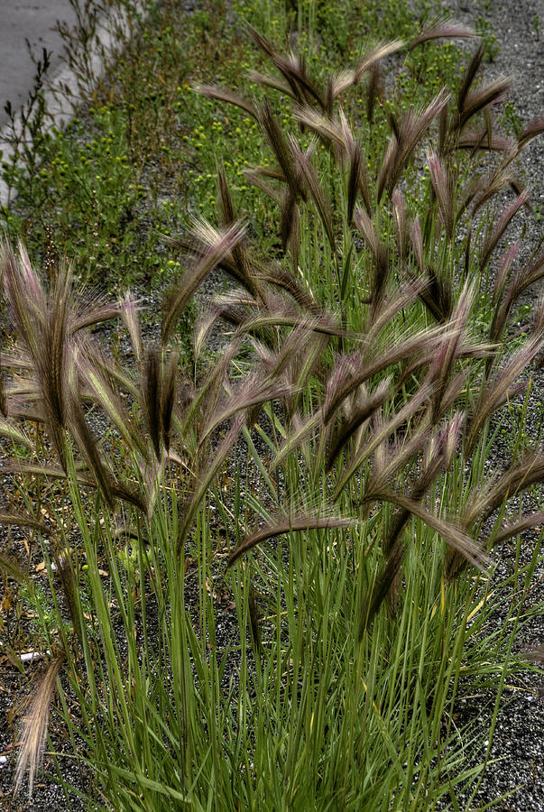 Grass Photograph - Fox Tail Grass by Grover Woessner