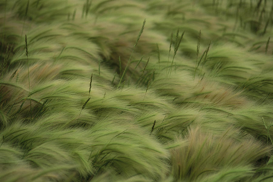Foxtail Barley And Western Wheatgrass Photograph By Annie
