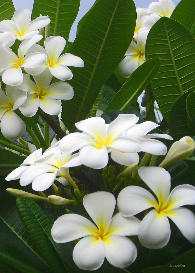 Plumeria Photograph - Fragrant White Plumeria by Kerri Ligatich