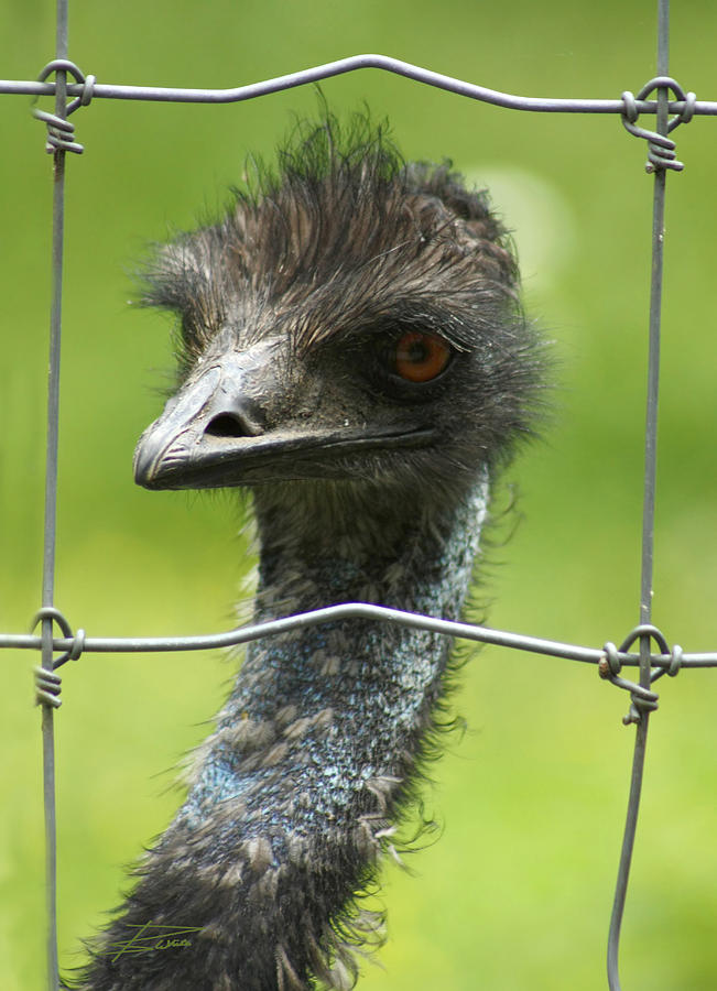 Ostrich Photograph - Framed by Barbara  White