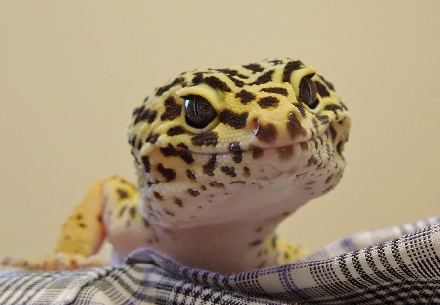 Leopard Spotted Gecko Photograph - Freckles The Smiling Leopard Gecko by Chad and Stacey Hall