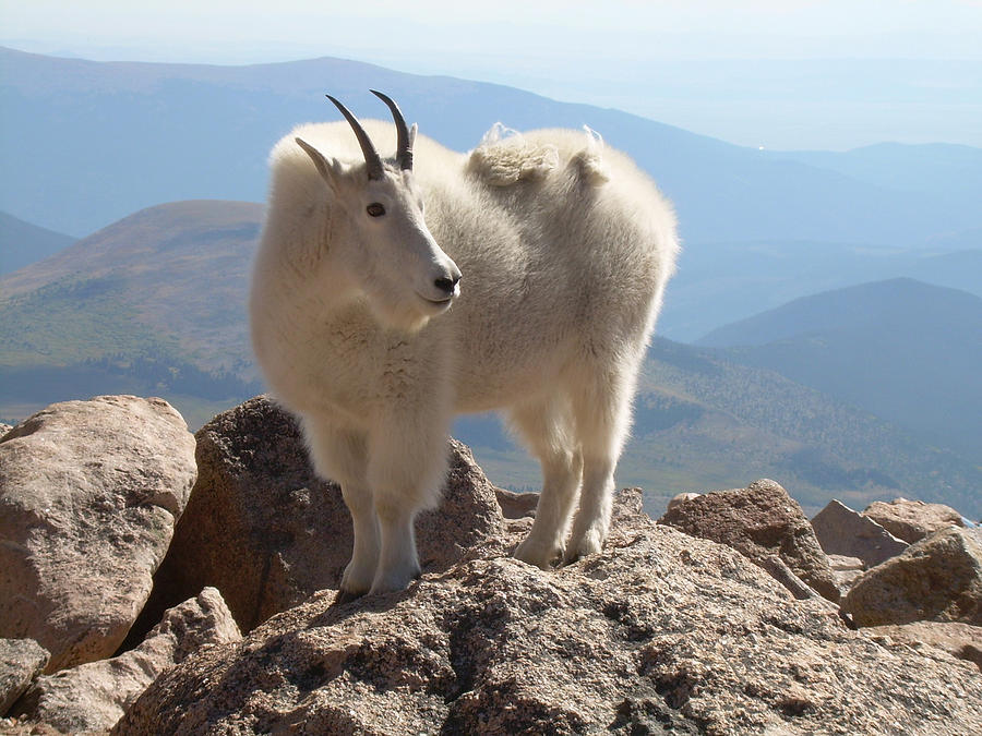 Abstract Digital Art - Fred The Mountain Goat by Bill Kennedy