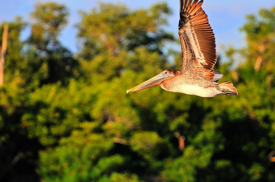 Yellow-crowned Night Heron Digital Art - Free Flight by Barry R Jones Jr