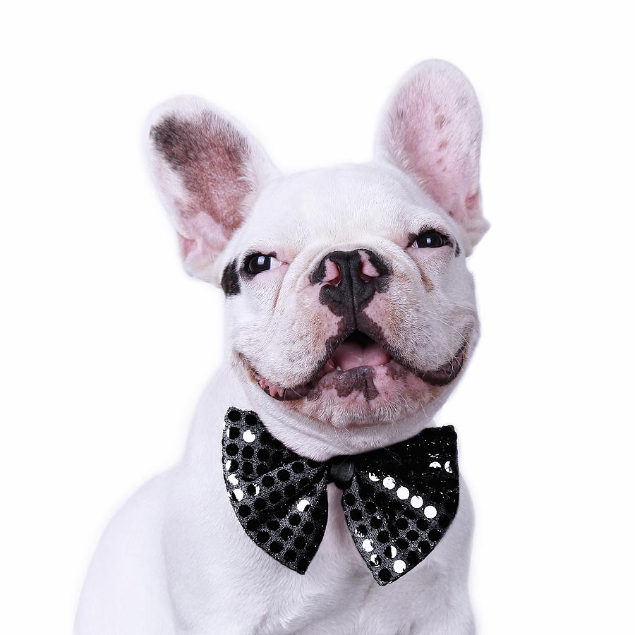 Square Photograph - French Bulldog And Bow Tie by Maika 777