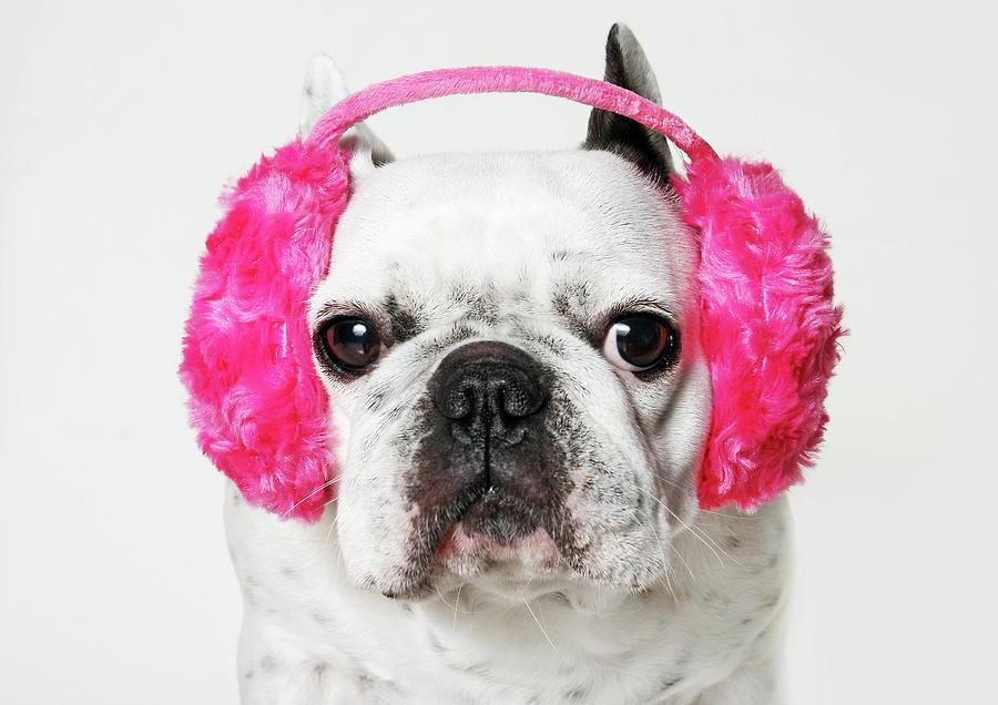 Horizontal Photograph - French Bulldog With Ear Roses On White Background by Retales Botijero