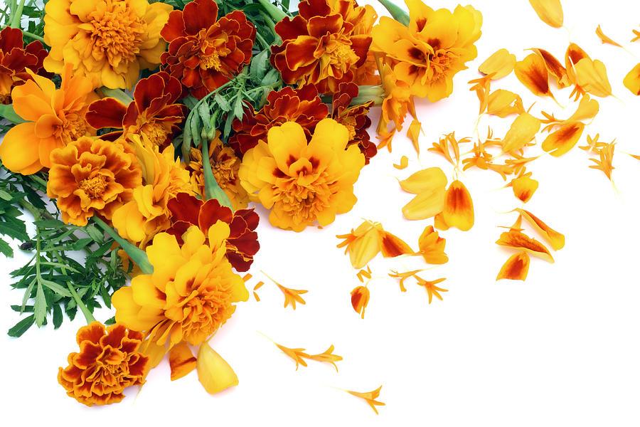 Marigold Photograph - French Marigold isolated postcard by Aleksandr Volkov