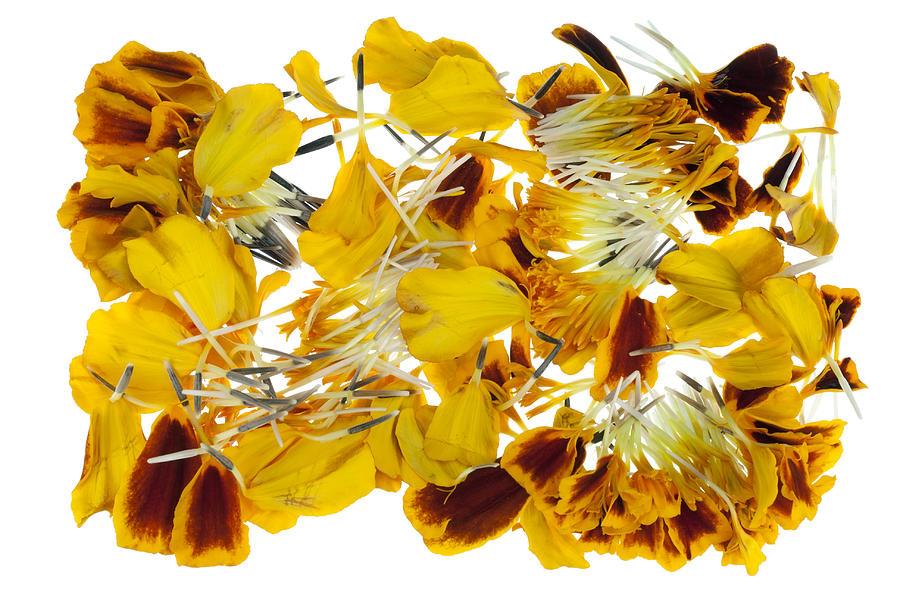 Petals Photograph - French Marigold petals by Aleksandr Volkov