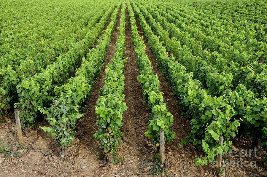 Agriculture Photograph - French Vineyard by Bernard Jaubert