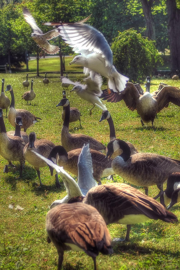 Birds Photograph - Frenzy by Joann Vitali