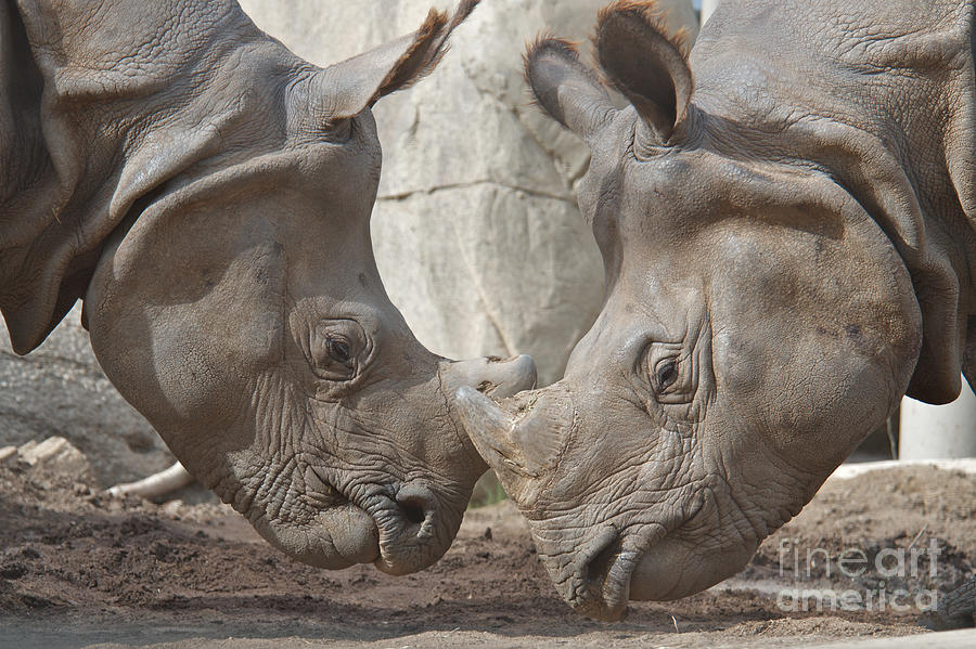 Rhino Photograph - Friend Or Foe by Jason Waugh