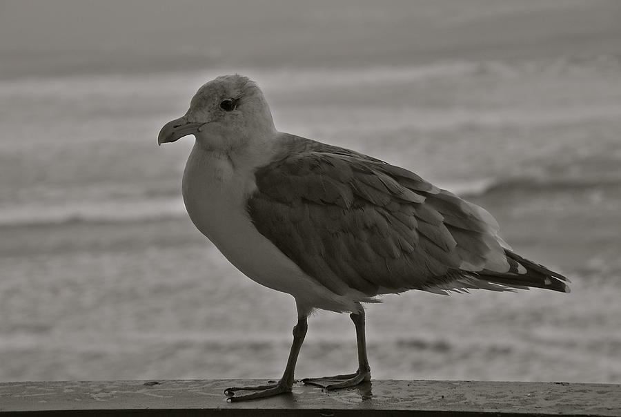 Seagull Photograph - Friendly Gull by Eric Tressler