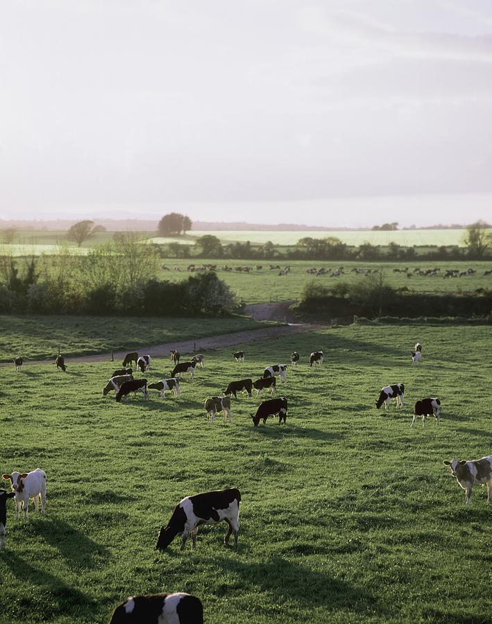 Field Photograph - Friesian Bullocks, Ireland Herd Of by The Irish Image Collection