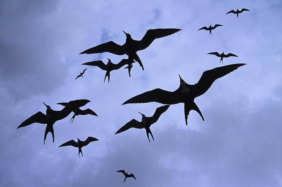 Bird Photograph - Frigate Birds In Flight. Lighthouse by Ron Watts