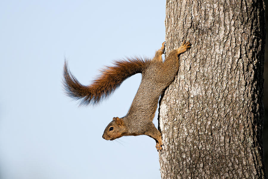 Squirrel Photograph - Frisky Little Squirrel With A Twirly Tail by Bonnie Barry