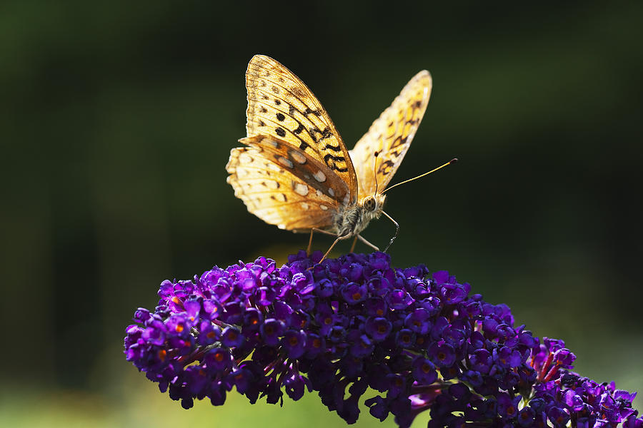 Horizontal Photograph - Fritillary Butterfly On Butterfly Bush, Near Madoc, Ontario, Canada by Janet Foster