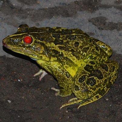 Frog Photograph - Frog by Chirag Arts