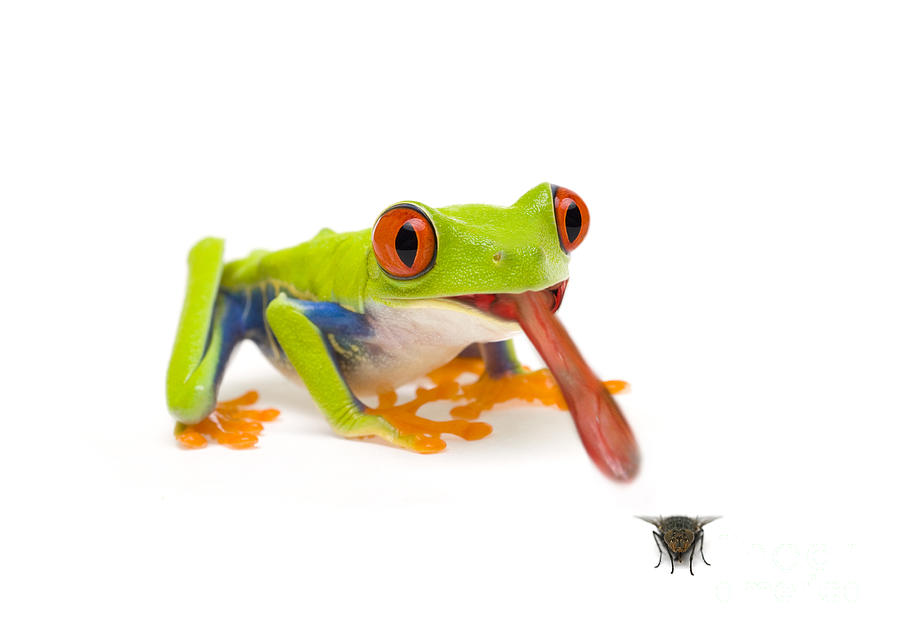 Frog Eating Fly Photograph by Mark Bowler and Photo ...