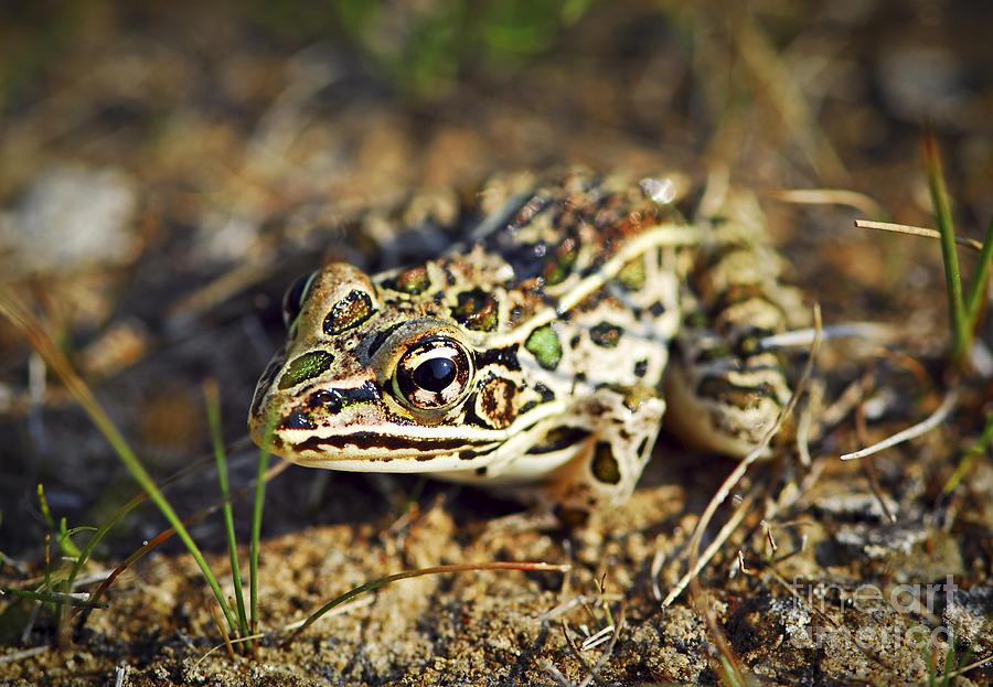 Frog Photograph - Frog by Elena Elisseeva
