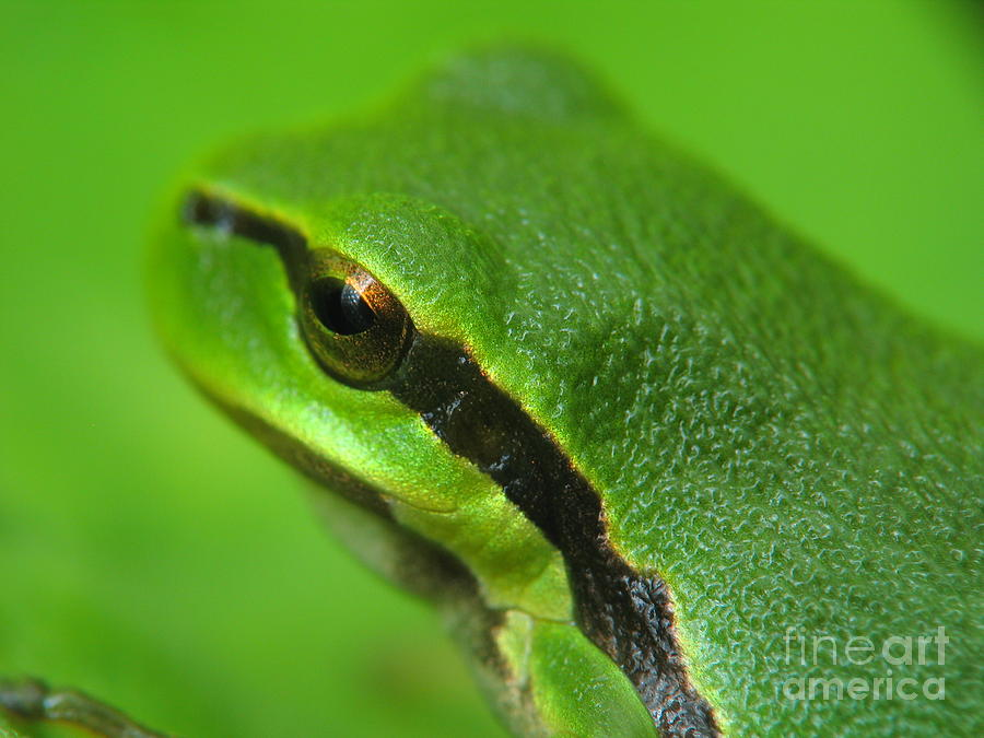Nature Photograph - Frog Look by Odon Czintos