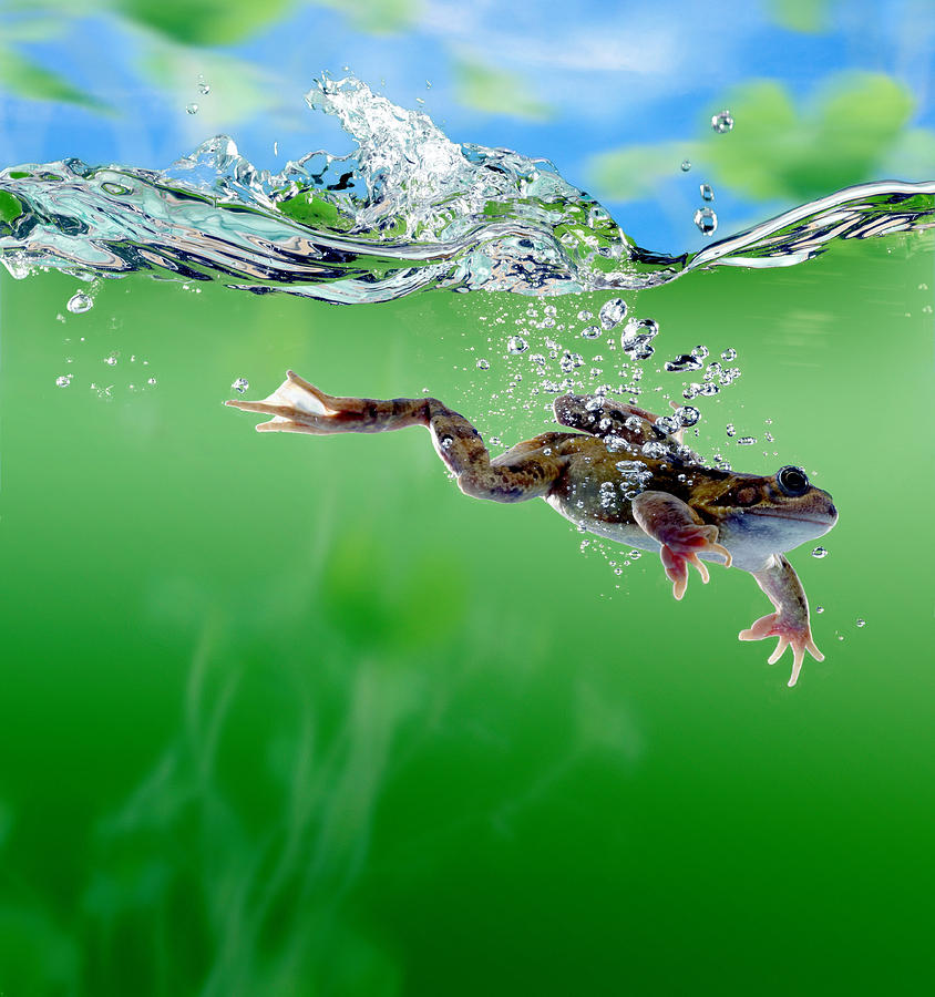 frog rana sp swimming underwater digital enhancement