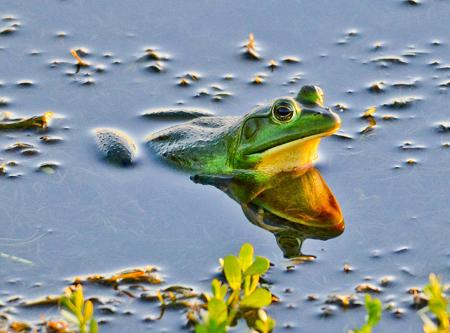 Frog Photograph - Frog Reflection by Julio n Brenda JnB
