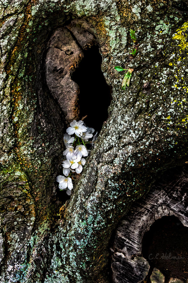 Cherry Photograph - From The Heart by Christopher Holmes