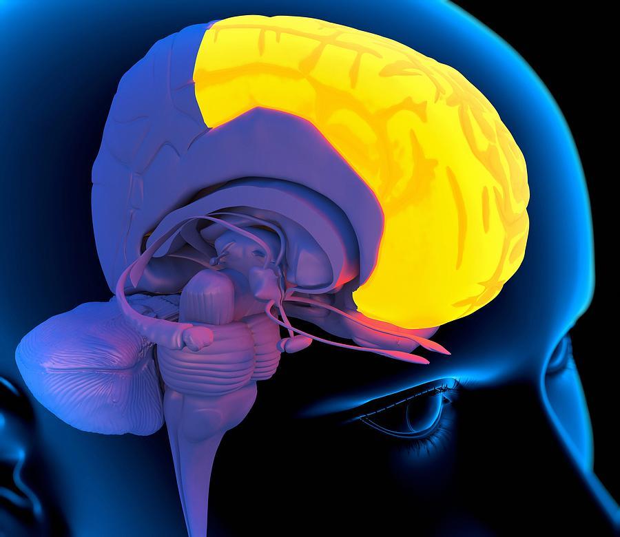 Frontal Lobe Photograph - Frontal Lobe In The Brain, Artwork by Roger Harris