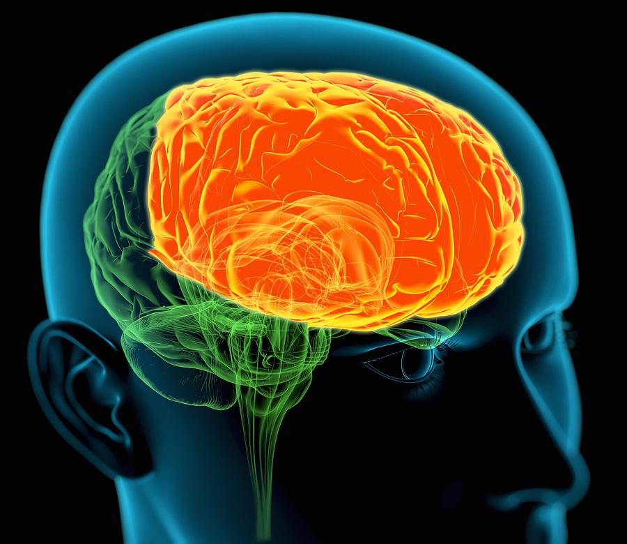Frontal Lobe Photograph - Frontal Lobes In The Brain, Artwork by Roger Harris