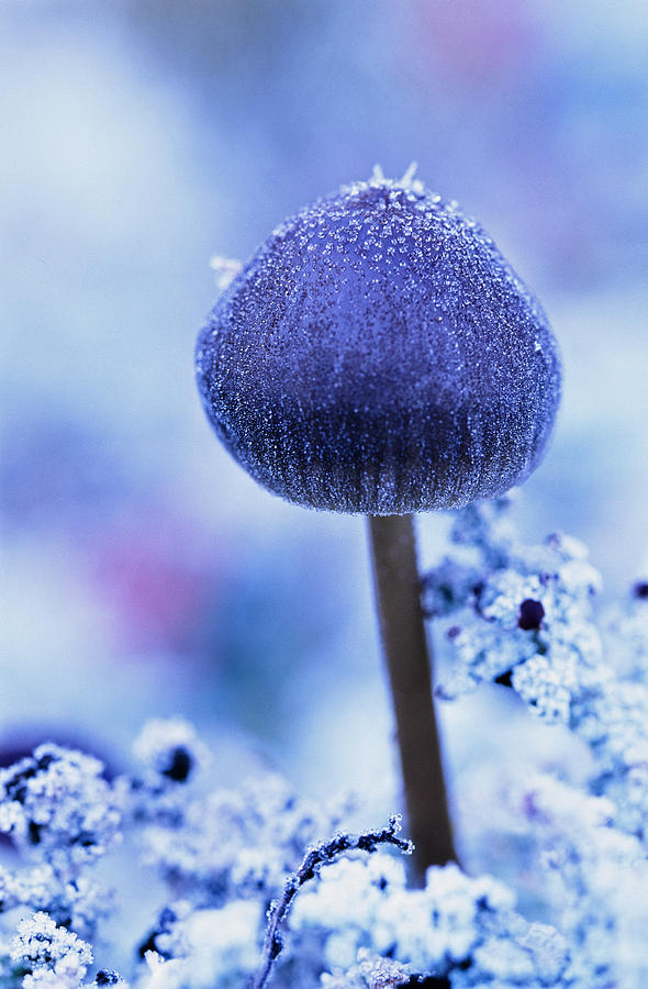 Light Photograph - Frost Covered Mushroom, North Canol by Robert Postma