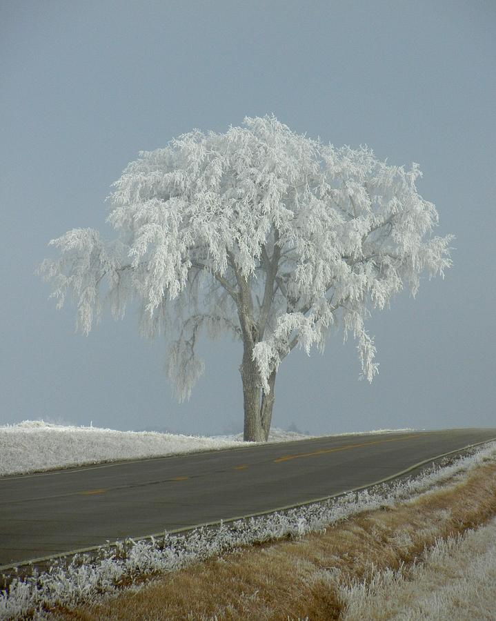 Tree Photograph - Frost On The Big Tree  by Penny Meyers