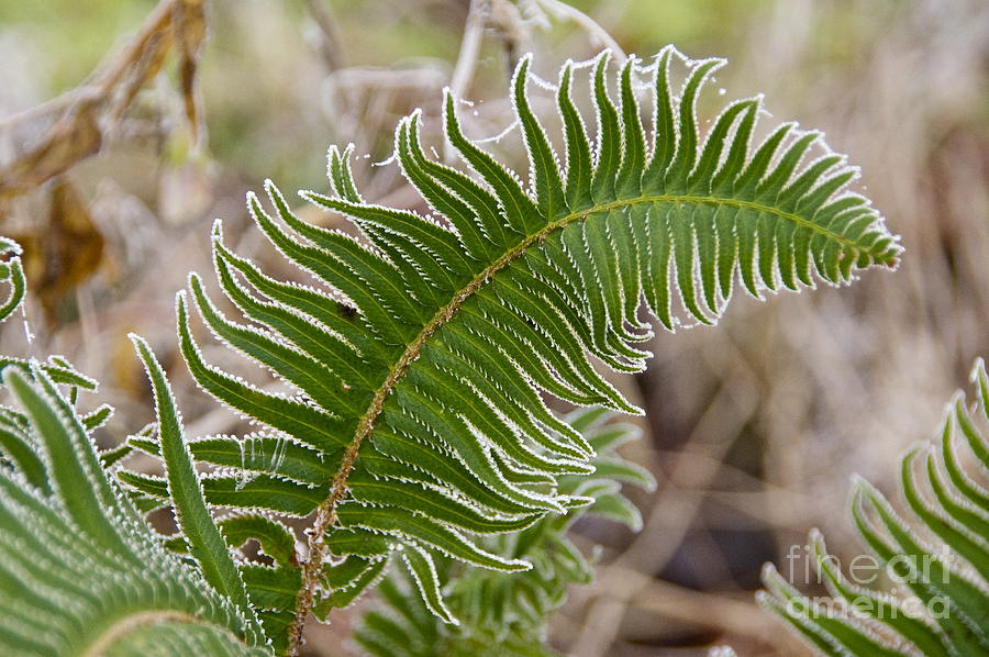 Sean Griffin Photograph - Frosted Fern by Sean Griffin