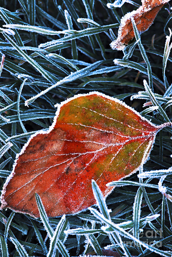Frost Photograph - Frosty Leaf by Elena Elisseeva