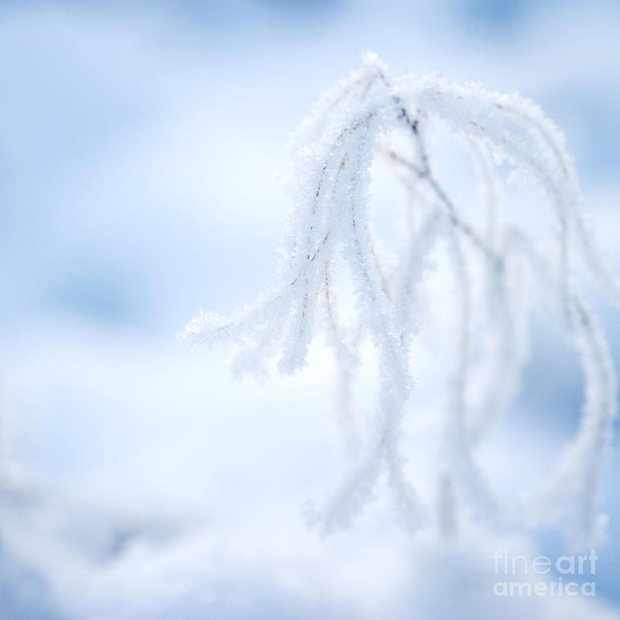 Frosty Plant Photograph