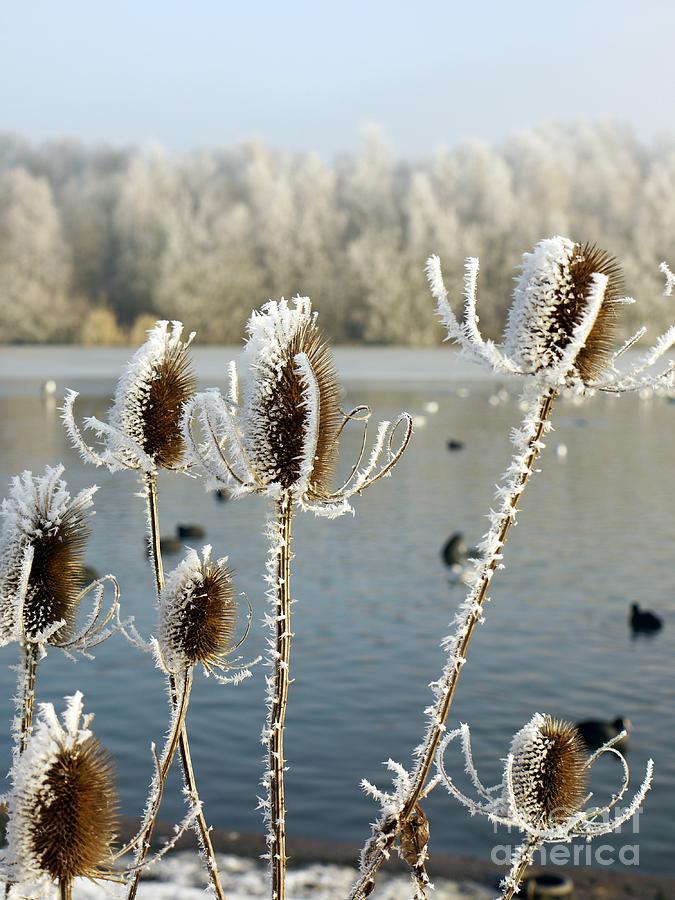 Teasle Photograph - Frosty Teasel by John Chatterley