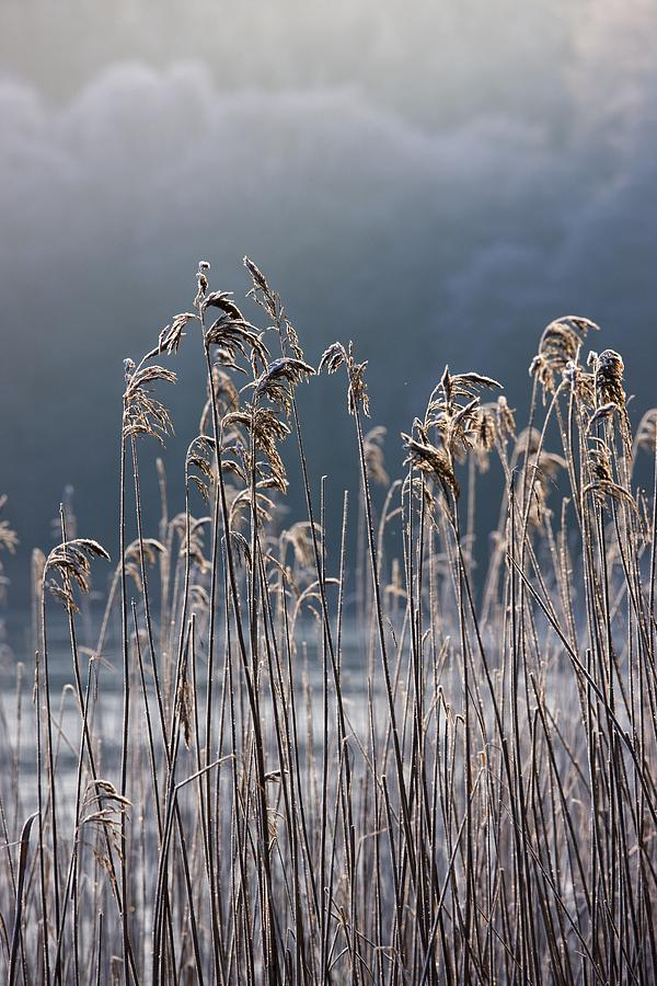 Cold Temperature Photograph - Frozen Reeds At The Shore Of A Lake by John Short
