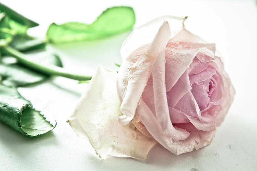 Horizontal Photograph - Frozen Rose by Dm909