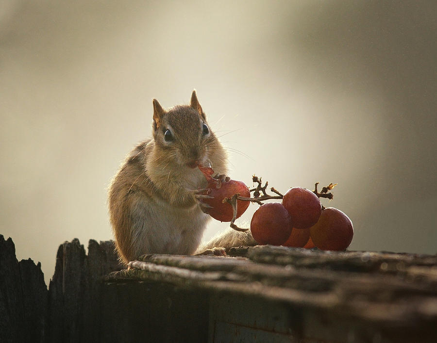 Chipmunk Photograph - Fruit Of The Vine by Susan Capuano
