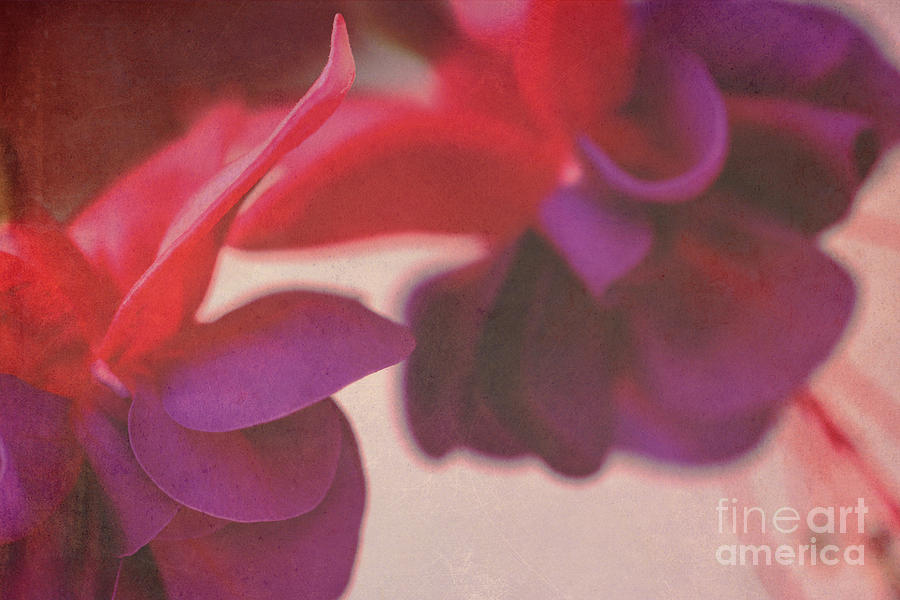 Flowers Photograph - Fuchsia by Angela Bruno