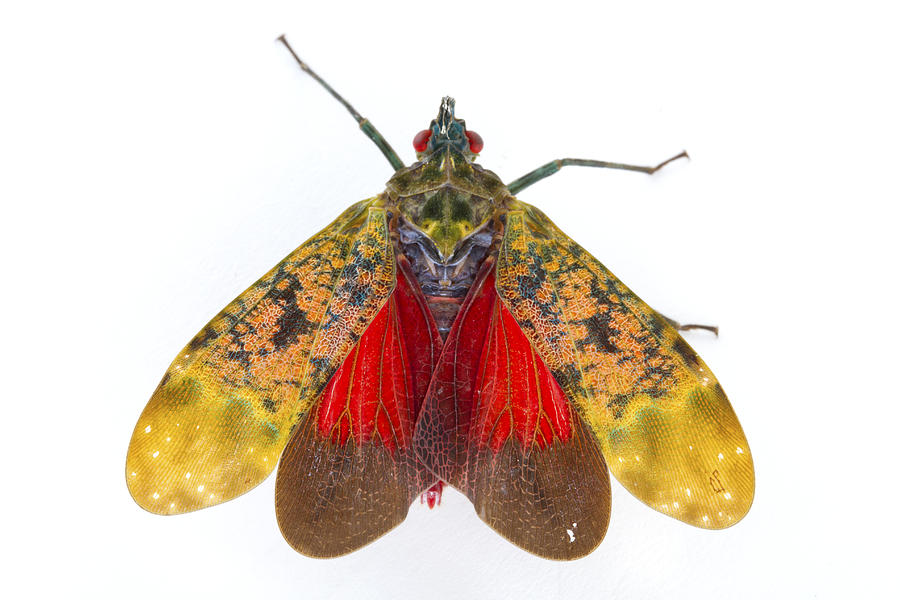 Piotr Naskrecki Photograph - Fulgorid Planthopper Costa Rica by Piotr Naskrecki
