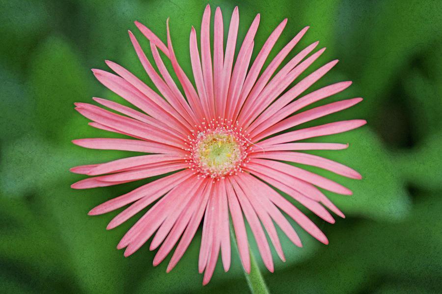 Horizontal Photograph - Full Bloom by Daniela Duncan