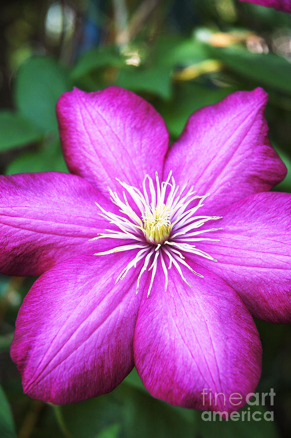 Clematis Photograph - Full On  by Bob and Nancy Kendrick