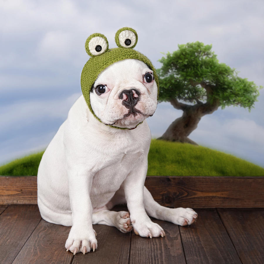 Square Photograph - Funny French Bulldog Puppy by Maika 777